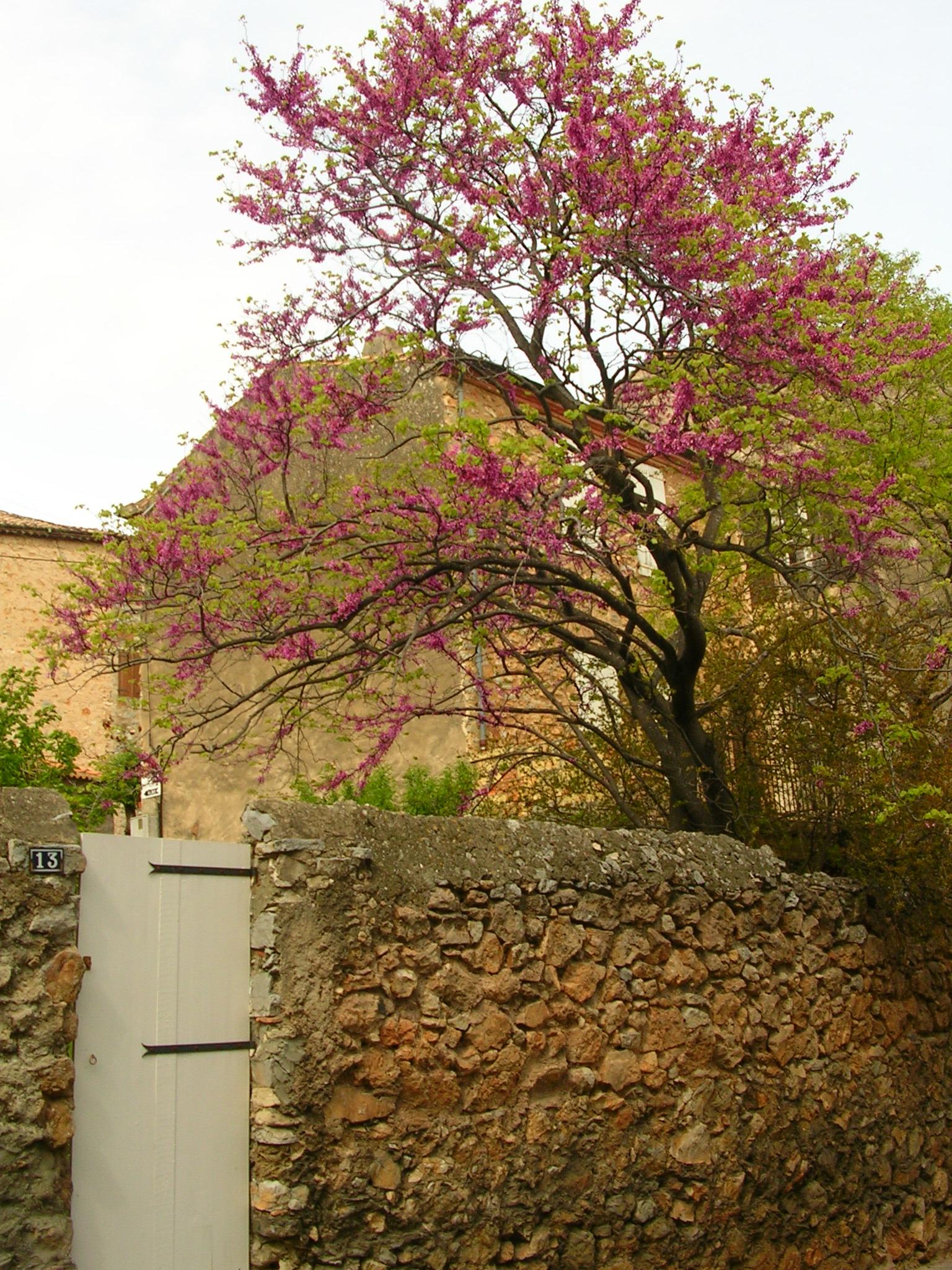 arbrerose2.JPG